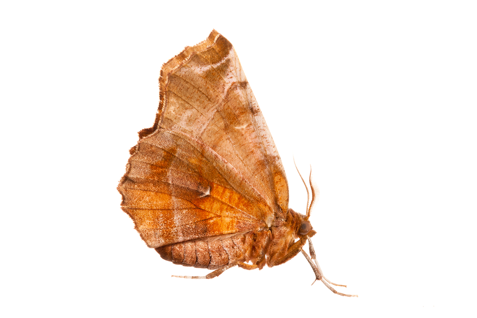 Early thorn moth in the field studio, France
