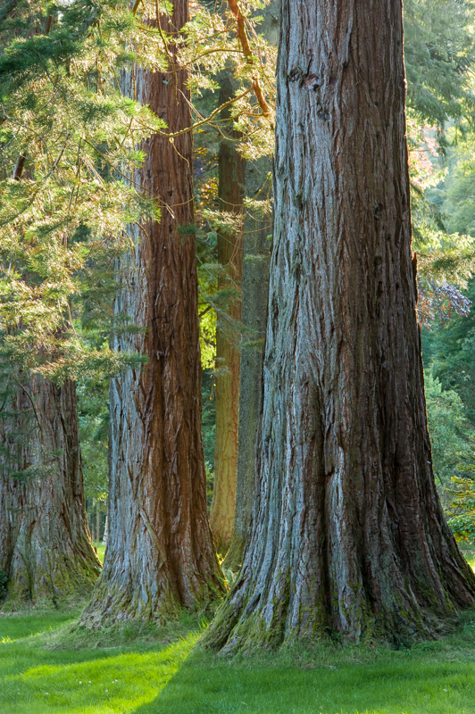 The Benmore redwoods,  Scottish Tree of the Year 2015 candidates