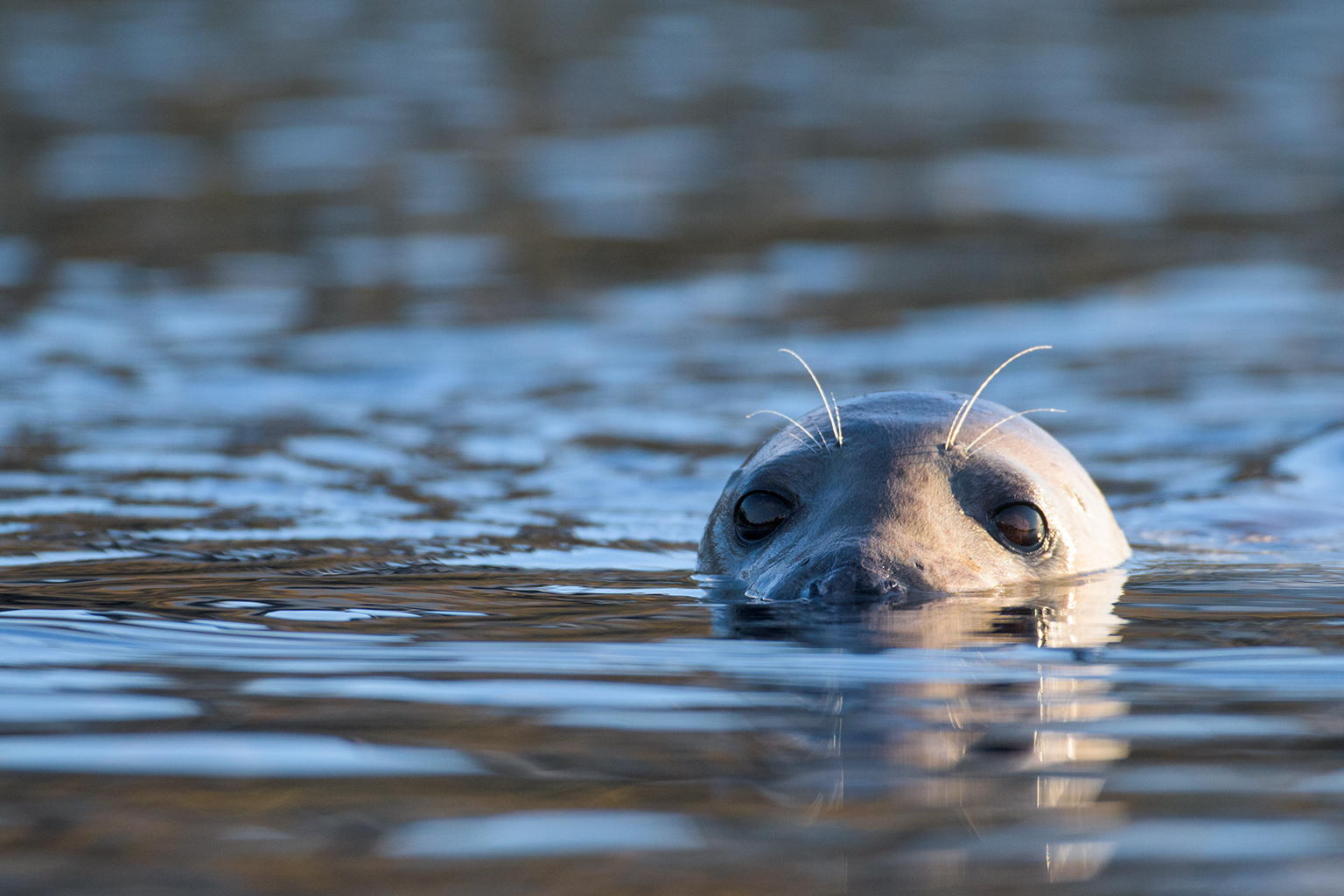 Female grey seal, Islay, Scotland
