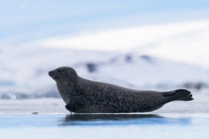 Common seal, Iceland