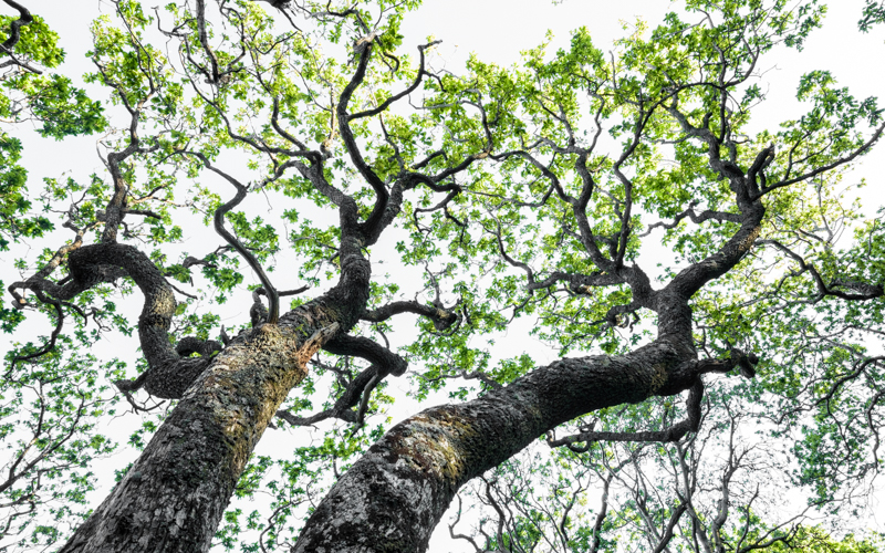Sessile oak, Mull, Scotland
