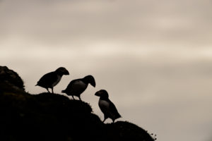 Puffins against looming sky, Lunga, Scotland