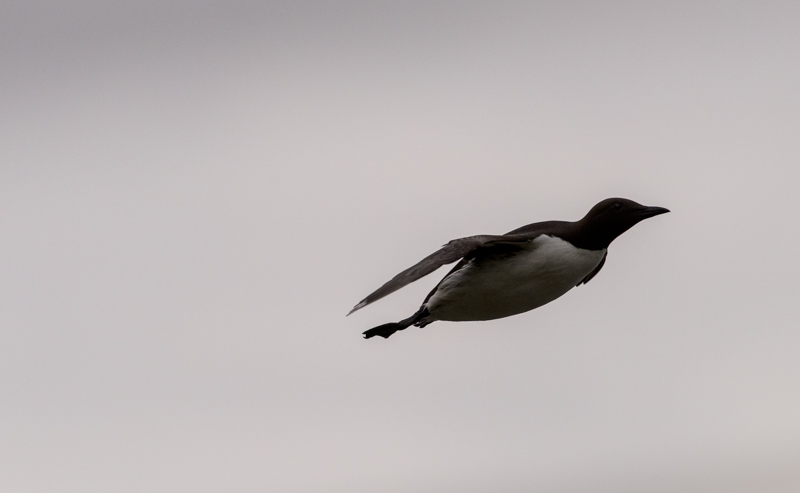Guillemot in flight against looming sky