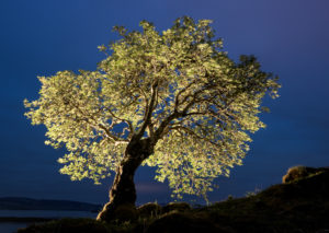 Backlit, Rowan, painted with torch light, Mull, Scotland