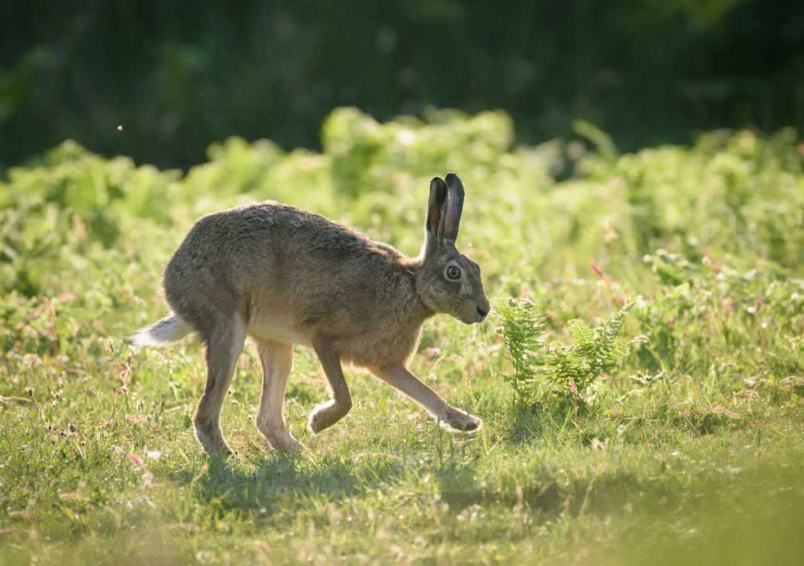 Brown hare at dawn, Islay, Scotland