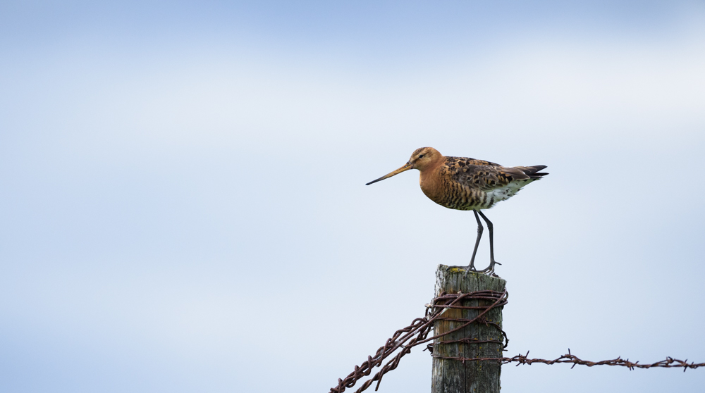 Black tailed godwit, Iceland