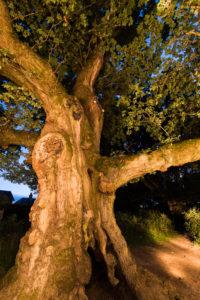 Susan Drummond, Birnam oak, Scottish Tree of the Year 2016
