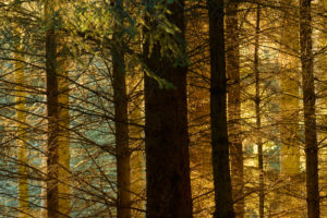 Spruce forest, the Bin, Aberdeenshire and Moray District, Forestry Commission, Scotland