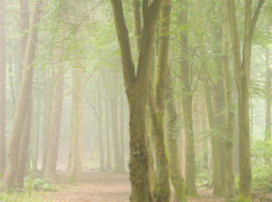 Woodland in fog, Dunnottar, Aberdeenshire and Moray District,Forestry Commission, Scotland