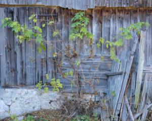 Elder and old barn, Slovenia