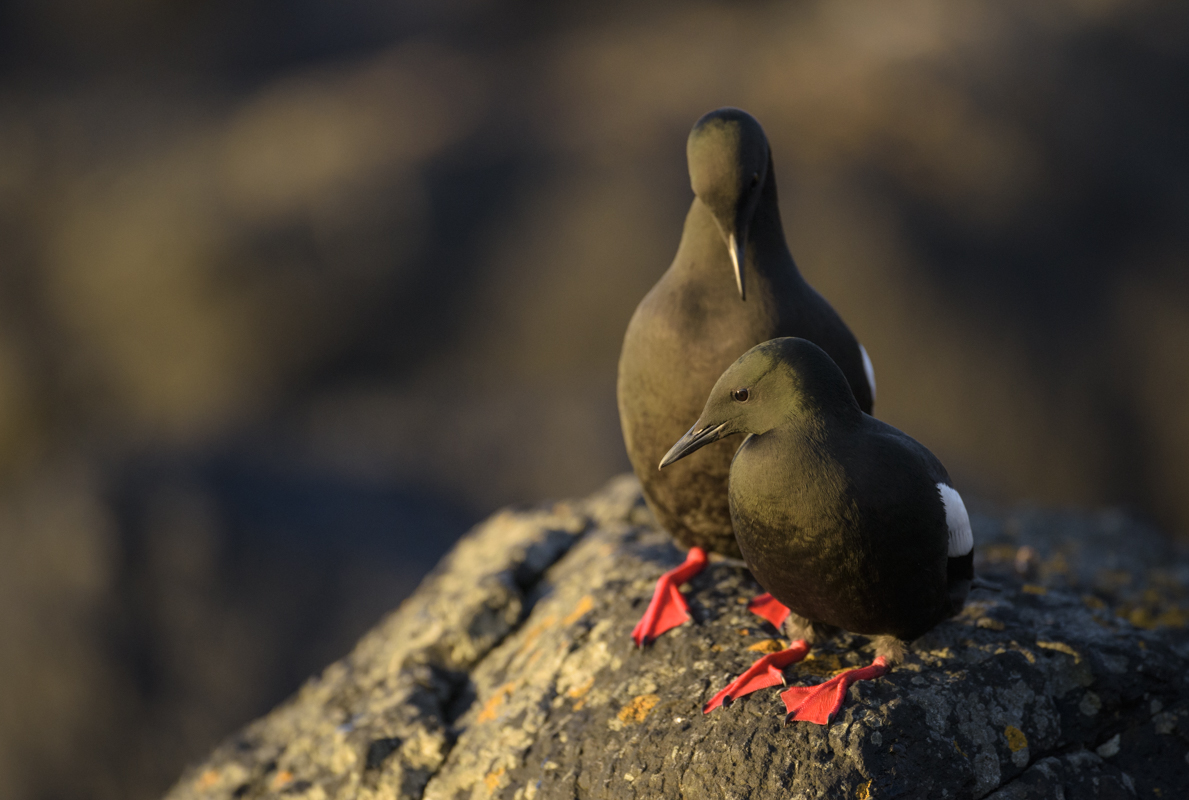 Black guillemot, courting pair, Flatey, Iceland.