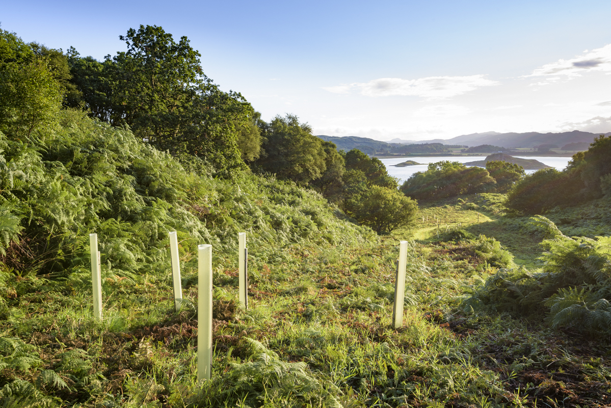 Tree guards protecting new oaks, Crinan Wood, Crinan, Argyll, Scotland